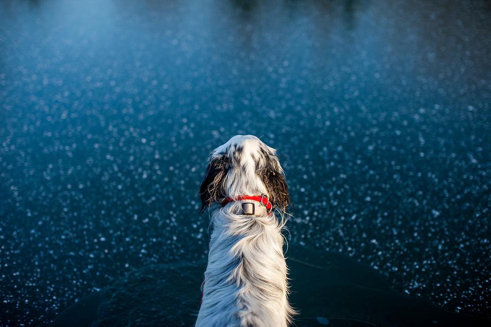 """English Setter """"Rudy"""" schaut am 06.02. 2018 auf seinen gefrorenen  Teich in Stara Lysa, (Tschechische Republik).  Rudy wurde Anfang Januar 2017 geboren und ist vor einiger Zeit zu seiner neuen Familie umgezogen."""