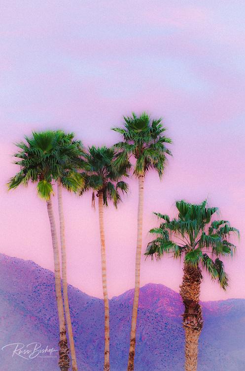 California Fan Palms under San Ysidro Mountain, Anza-Borrego Desert State Park, California USA