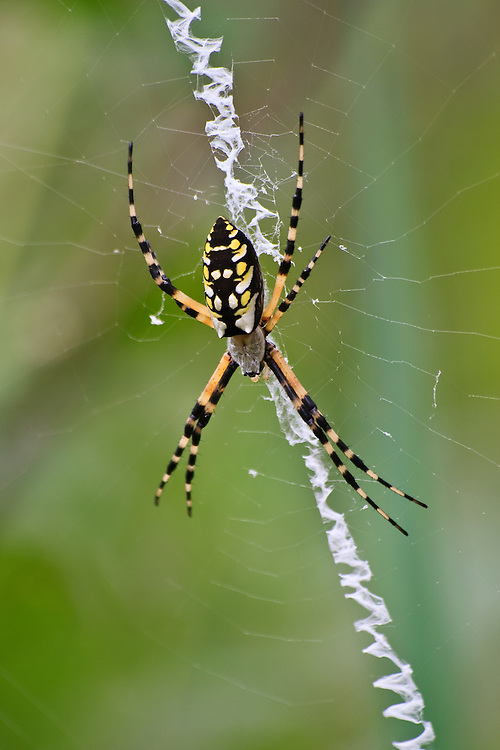 A close-up of a female yellow garden spider (Argiope aurantia) in a web with a prominent stabilimentum, Back Bay National Wildlife Refuge, Virginia Beach, Virginia