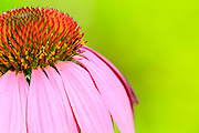 Close-up of a purple coneflower with a soft green background.