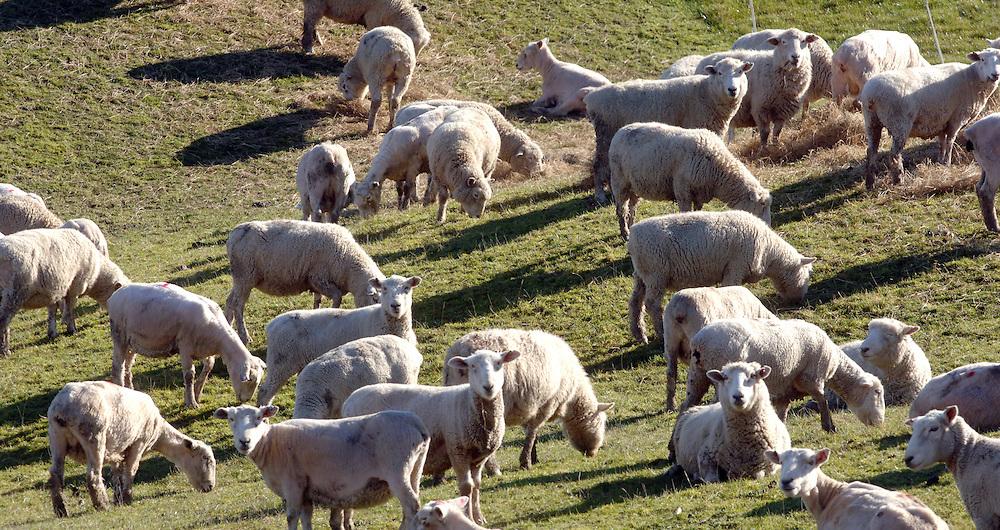 Sheep grazing, Southland, New Zealand, Sunday, August 06, 2006. Credit:SNPA / Ross Setford