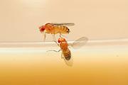 Male flie (below) is singing to the female during courtship using their wing to generate sound. Fruit Fly (Drosophila melanogaster) lab culture. (wild type) | In der Natur meist vom Menschen unbemerkt, im Labor interessiert beobachtet und studiert: das erstaunlich komplexe Paarungsverhalten der Taufliege (Drosophila melanogaster). Das Männchen (unten) umwirbt das von ihm auserwählte Weibchen, das sich nicht so ohne Weiteres von ihm begatten lässt. Das Männchen spreizt in Taufliegen-typischer Manier einen Flügel seitlich ab und erzeugt damit durch Vibrationen einen sirrenden Gesang, der nur mit Spezial-Mikrophonen für den Menschen hörbar wird.