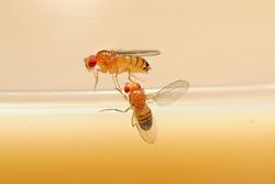 Male flie (below) is singing to the female during courtship using their wing to generate sound. Fruit Fly (Drosophila melanogaster) lab culture. (wild type)   In der Natur meist vom Menschen unbemerkt, im Labor interessiert beobachtet und studiert: das erstaunlich komplexe Paarungsverhalten der Taufliege (Drosophila melanogaster). Das Männchen (unten) umwirbt das von ihm auserwählte Weibchen, das sich nicht so ohne Weiteres von ihm begatten lässt. Das Männchen spreizt in Taufliegen-typischer Manier einen Flügel seitlich ab und erzeugt damit durch Vibrationen einen sirrenden Gesang, der nur mit Spezial-Mikrophonen für den Menschen hörbar wird.