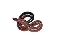 Common earthworm, Nightcrawler, Lumbricus terrestris.Gemeiner Regenwurm, Tauwurm, Lumbricus terrestris