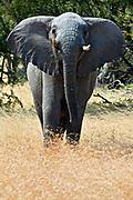 Angry young bull African Elephant (Loxodonta africana) from Serengeti, Tanzania.