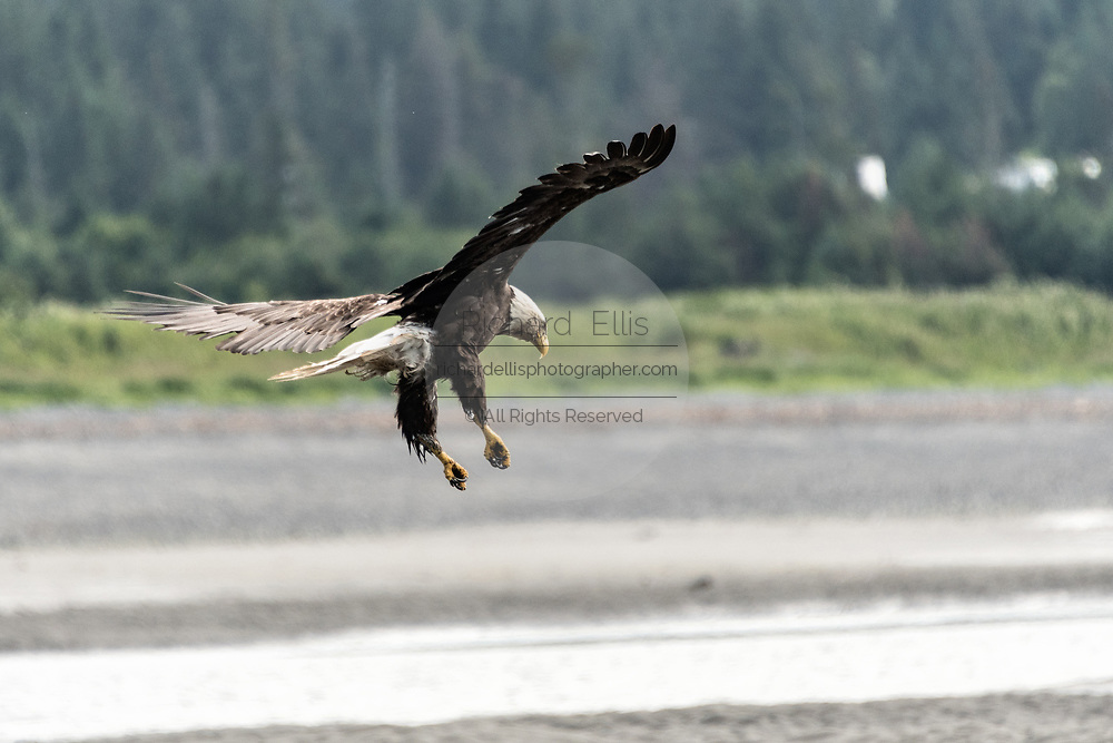 An adult bald eagle lands on the beach at Anchor Point, Alaska.