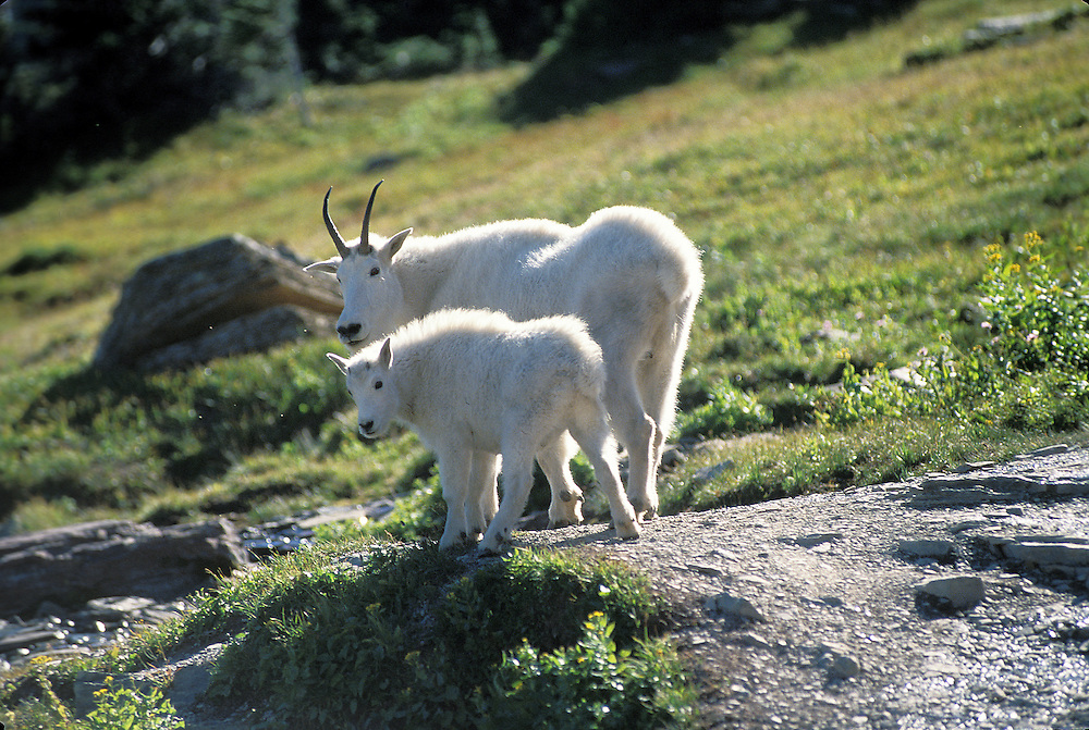 Mountain goats are - Oreamnos Americana), also known as the Rocky Mountain goats, and are a large hoofed mammal endemic to North America. A subalpine to alpine species, it is a sure-footed climber commonly seen on cliffs and ice areas.