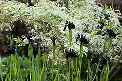 Iris chrysographes growing in front of Forsythia x intermedia 'Yosefa'