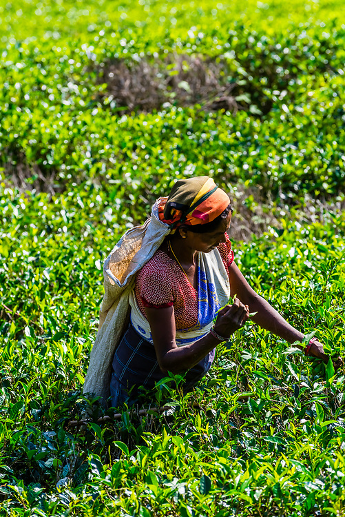 Women picking tea, Mackwoods Labookellie Tea Estate, near Nuwara Eliya, Central Province, Sri Lanka.