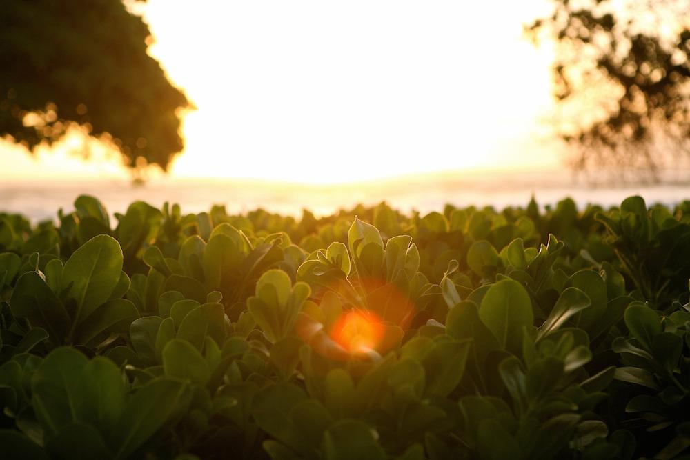 Hawaiian Sundrop