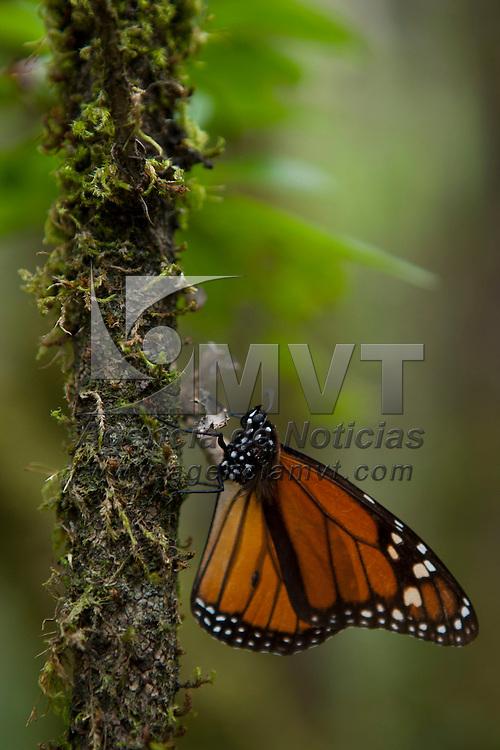 """TEMASCALTEPEC, Mexico.- Mariposas Monarca """"Danaus Plexippus"""" invernan en los bosques de oyamel del santuario Piedra Herrada, a 120 kilómetros al poniente de la ciudad de México; la mariposa viaja mas de 5 mil kilómetros desde la región de los grandes lagos en Canada y arriban en su ciclo migratorio mas de 300 millones de insectos a la biósfera de conservación en los limites del Estado de México y Michoacán donde permanecen hasta finales del mes de Marzo. Agencia MVT / Mario Vazquez de la Torre. (DIGITAL)"""