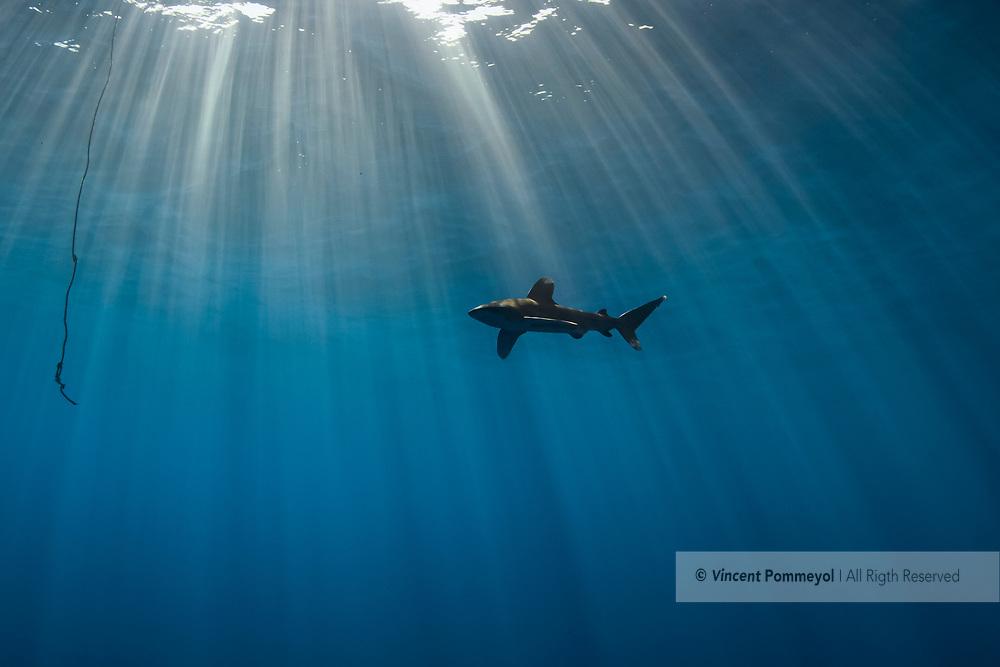 Oceanic whitetip shark-Requin océanique (Carcharhinus longimanus), Egypt, Red Sea.