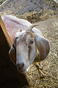 This goat gave birth to twins last week. She lives on a small backyard farm in Portland, Ore. They are kept for their milk and for meat.