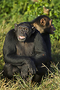 Chimpanzee<br /> Pan troglodytes<br /> Showing facial expression of fear<br /> Ngamba Island Chimpanzee, Sanctuary <br /> *Captive