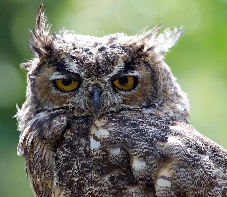 Great Horned Owl, Bear Lake Utah
