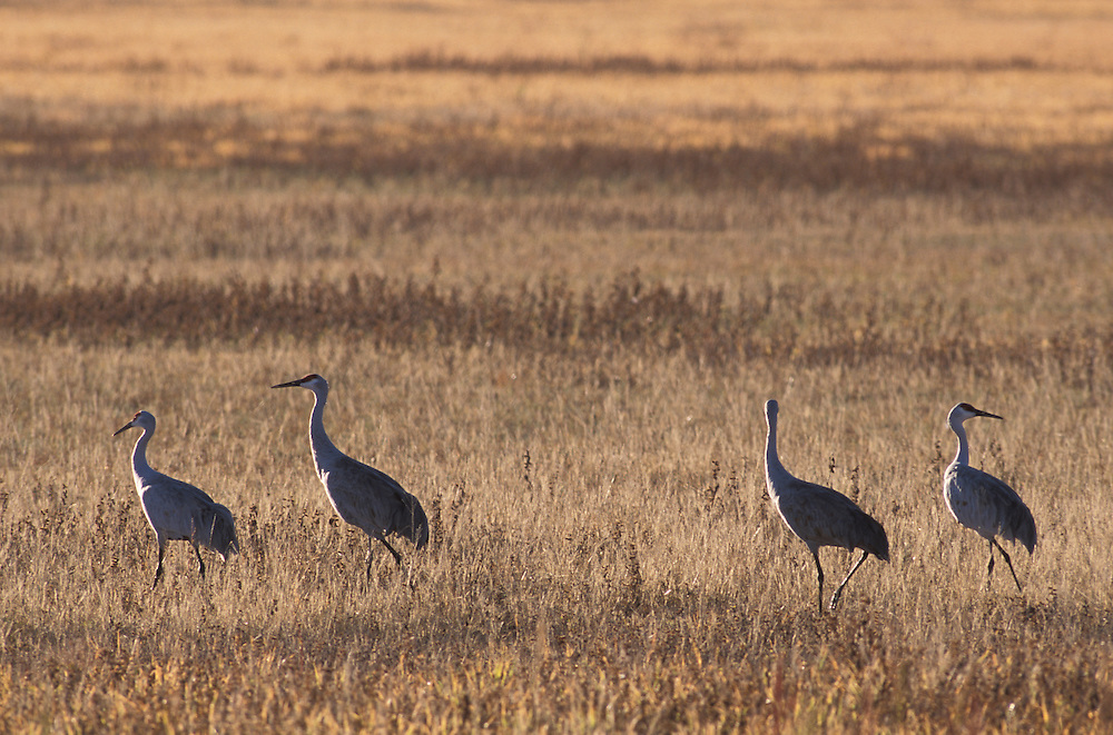 Sandhill Cranes, Bosque del Apache National Wildlife Refuge,New Mexico,USA