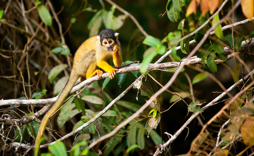 Squirrel monkeys (Saimiri boliviensis boliviensis) climb and eat their way through the canopy in Chalalan Lodge in Madidi NP in Bolivia.