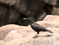 Ticino, Southern Switzerland. Close-up of a raven perched on a rock.