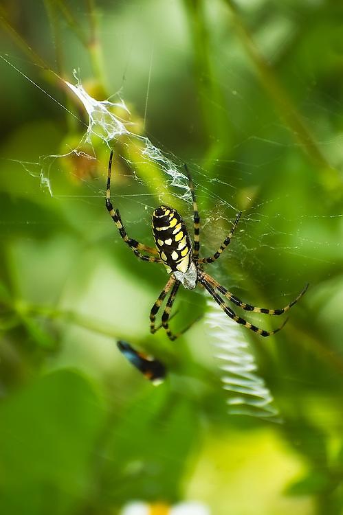 "Huge female with distinctive ""zig-zag"" web under a shrub near Hickey's Creek in Lee County, Florida."