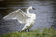 Trumpeter swan at Yellowstone National Park
