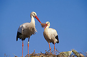 White Stork (Ciconia ciconia). Pair repairing nest which is on a prickly pear bush (Opuntia sp.). Andalucia, Spain.