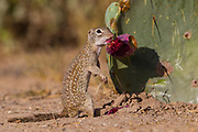 Mexican Ground Squirrel, Spermophilus mexicanus; Ictidomys mexicanus; prickly pear cactus, fruit, eating fruit, tuna, Starr County, Texas, Summer