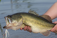 CLOSEUP OF A LARGEMOUTH BASS