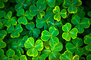 Shamrocks, Ireland
