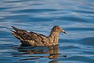 Skuas & other Gulls