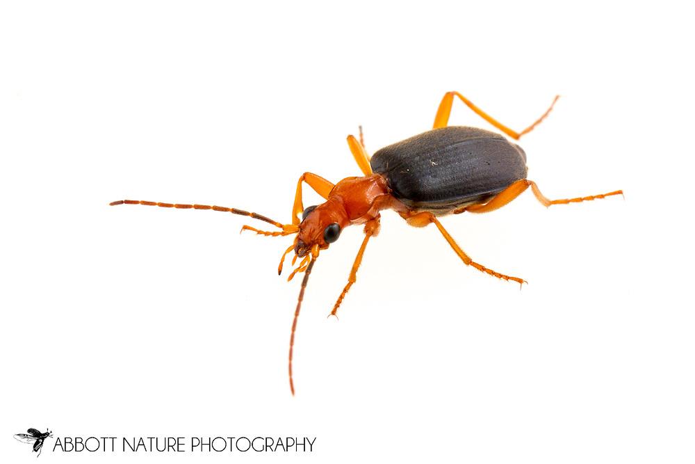 Bombardier Beetle (Brachinus sp.)<br /> United States: Alabama: Tuscaloosa Co.<br /> Tulip Tree Springs off Echola Rd.; Elrod<br /> 28-Apr-2017<br /> J.C. Abbott #2941