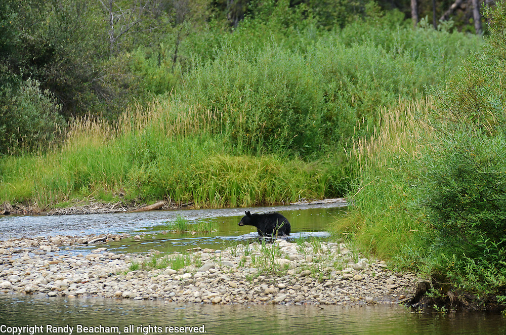 Black bear in the Yaak River in August. Yaak Valley, northwest Montana.