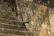 A Geoffroy's spider monkey (Ateles geoffroyi) navigates the steep stairs of the Acropolis Central.Tikal, Guatemala