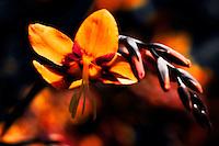 A single vibrant orange crocosmia blossom, also know as the falling star.