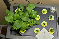 Farm 08 Left (14 days). Positions F08L01 - F08L12 Bok Choi (AeroGarden). Image taken with a Leica TL-2 camera and 35 mm f/1.4 lens (ISO 500, 35 mm, f/8, 1/80 sec).
