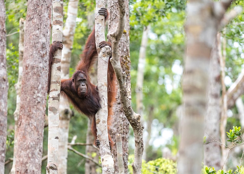 Borneo Orangutan (Pongo pygmaeus wurmbi) from Tanjung Puting National Park, Kalimantan, Indonesia