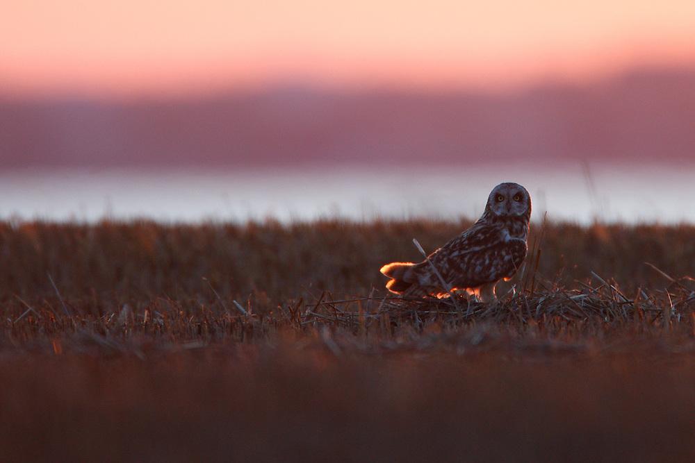 Short-eared Owl sitting on steppe fields at the sunset, Bagerova Steppe, Kerch Peninsula, Crimea, Ukraine