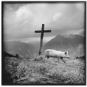 PIG IN FRONT OF A WOODEN CROSS, ein Schwein in Freiheit vor einem Holzkreuz auf Alp Turtmann im Wallis; un cochon en liberté devant une croix en bois