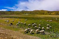 Sheep grazing, Shannon Prefecture, Tibet (Xizang), China.