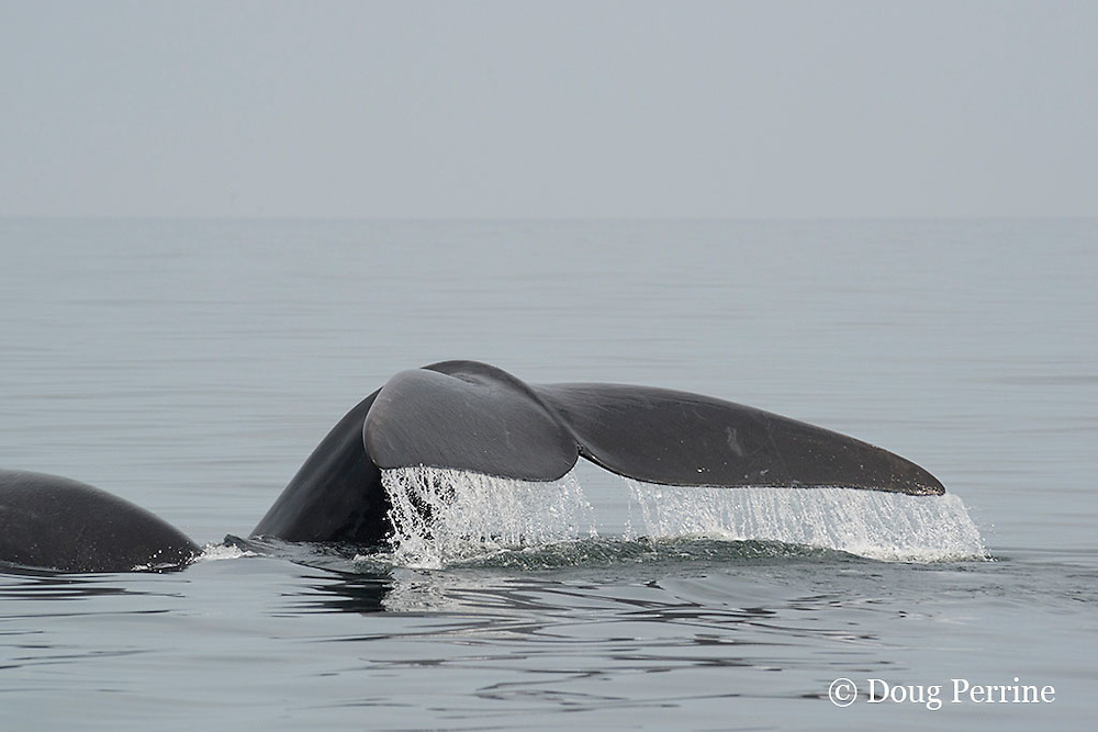 North Atlantic right whales ( Critically Endangered Species ), Eubalaena glacialis, mother and calf; mother (right) flukes up to dive, Grand Manan Basin, Bay of Fundy, New Brunswick, Canada