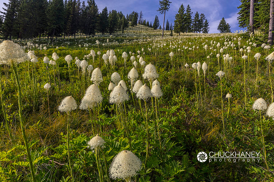 Epic beargrass bloom on Big Mountain in Whitefish, Montana, USA