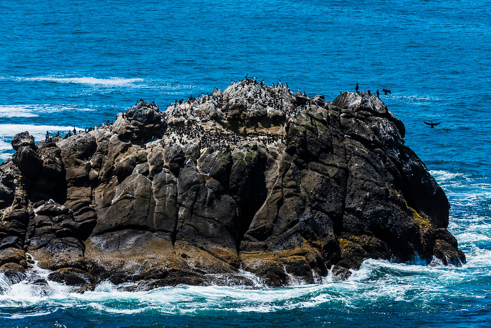 Seabirds lying on a rock in the ocean near the Yaquina Head Lighthouse, near Newport, Oregon USA.