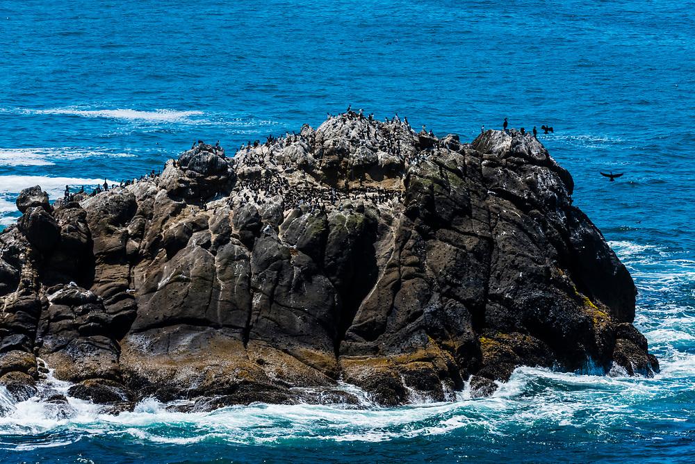 Seabirds lying on a rock in the ocean near the Yaquina Head Lighthouse, near Newport, Oregon USA.