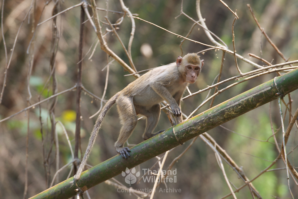 Wild crab-eating macaque (Macaca fascicularis), also known as the long-tailed macaque, is a cercopithecine primate native to Southeast Asia. Huai Kha Khaeng Wildlife Sanctuary, Thailand.