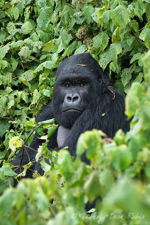 A silverback (dominant male) Mountain Gorilla, one of the most endangered species of animals in the world, in Parc National des Volcans / Volcanoes National Park in Rwanda.
