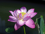 Open pink lotus flower against a railing by the water.  © Laurel Smith