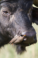 Oxpeckers picking the parasites from the skin and even from inside ears and nostrils of the buffalo.