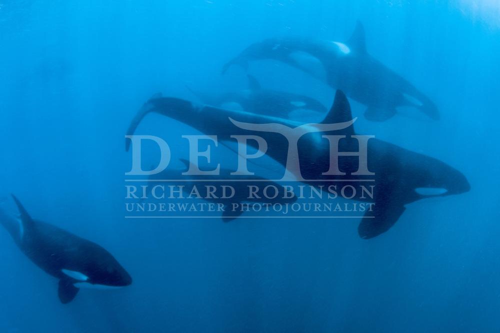 A pod of Orcinas orca (Orca/Killer Whale) traveling past Table Cape, Mahia Peninsula, New Zealand.<br /> Friday 10 January 2014 Photograph Richard Robinson &copy; 2014