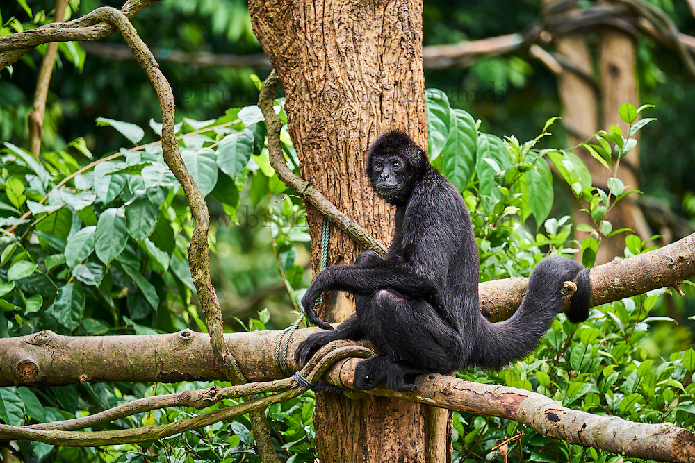 Singapour, Singapore Zoological Gardens, Mandai Zoo, singe araigné // Singapore, Singapore Zoological Gardens, Mandai Zoo, spider monkey
