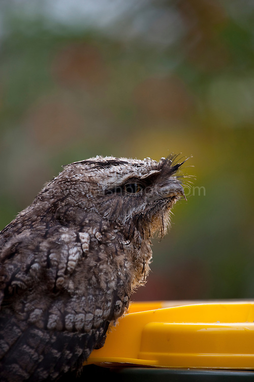 Tawny Frogmouth, perched on a suburban recycling bin at Smith Lake, New South Wales. While the camouflage of the frogmouth works perfectly when it's perched on a tree, the yellow of the bin lid really  doesn't help here. Often mistaken for an owl, the frogmouth is actually related to the nightjar. While it does have anisodactyl feet (one pointing backwards) like an owl, it doesn't fly to hunt - rather it perches, and waits for it food to come by - insects, frogs and rodents, to come by, then it strikes with its beak.