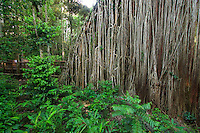 The Curtain Fig Tree, on the outskirts of the small town of Yungaburra, is one of north Queensland's iconic tourist attractions.